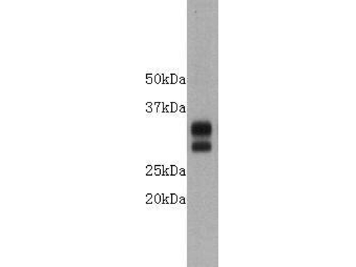Western blot analysis on mouse Thymus using anti-CD8 polyclonal antibody