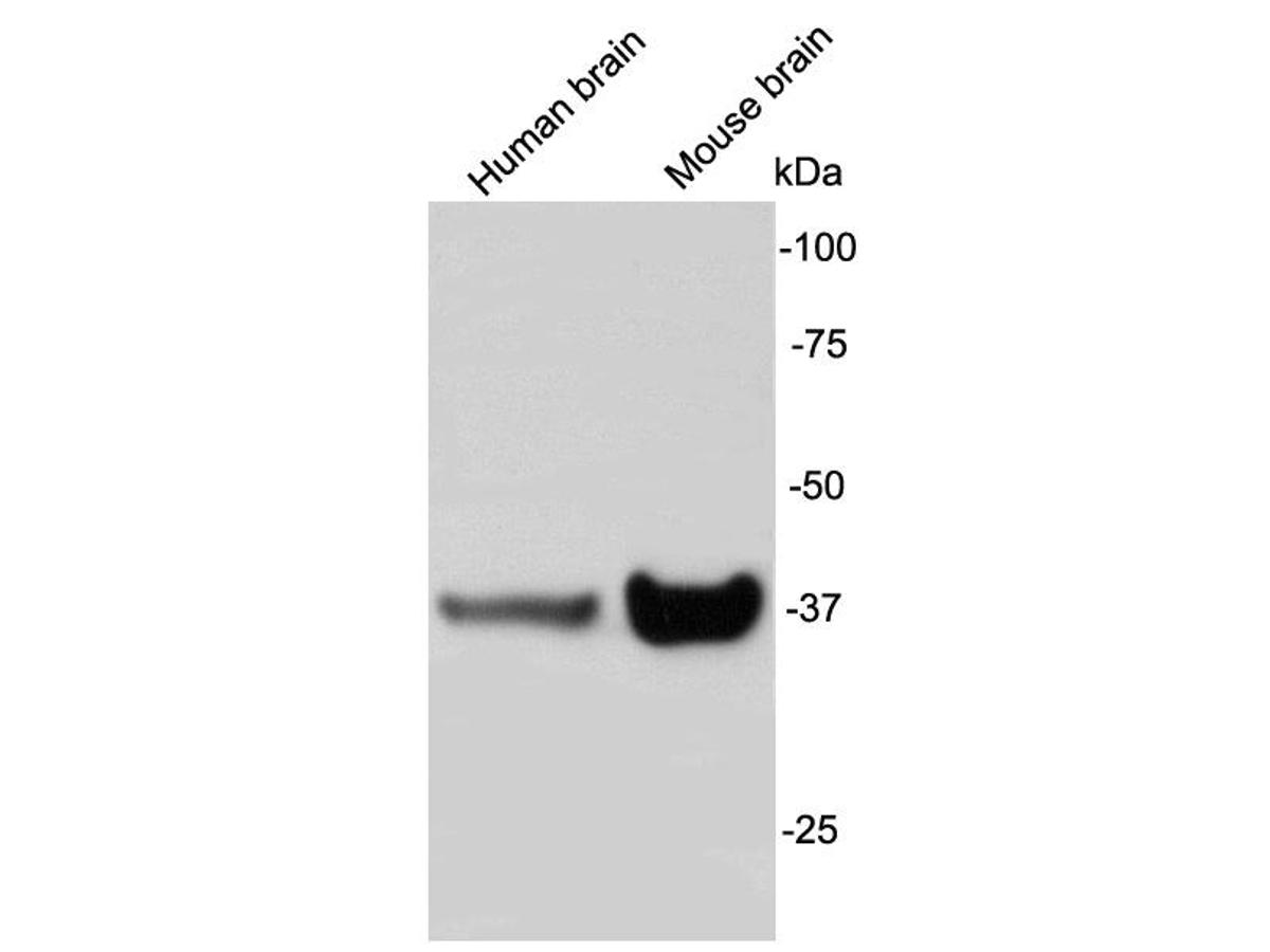 Western blot analysis of Synaptophysin on different lysates using anti-Synaptophysin antibody at 1/1,000 dilution.