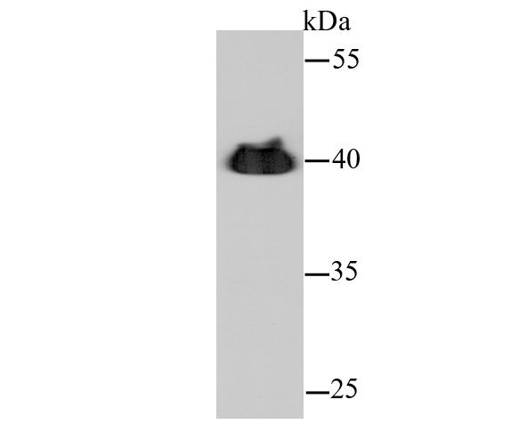 Western blot analysis of Alpha-cardiac actin on hybrid fish (crucian-carp) heart tissue lysate using anti-Alpha-cardiac actin antibody at 1/500 dilution.
