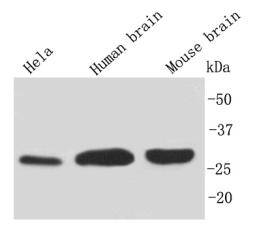 Western blot analysis on different cell and tissue using anti-14-3-3 b/a polyclonal antibody.