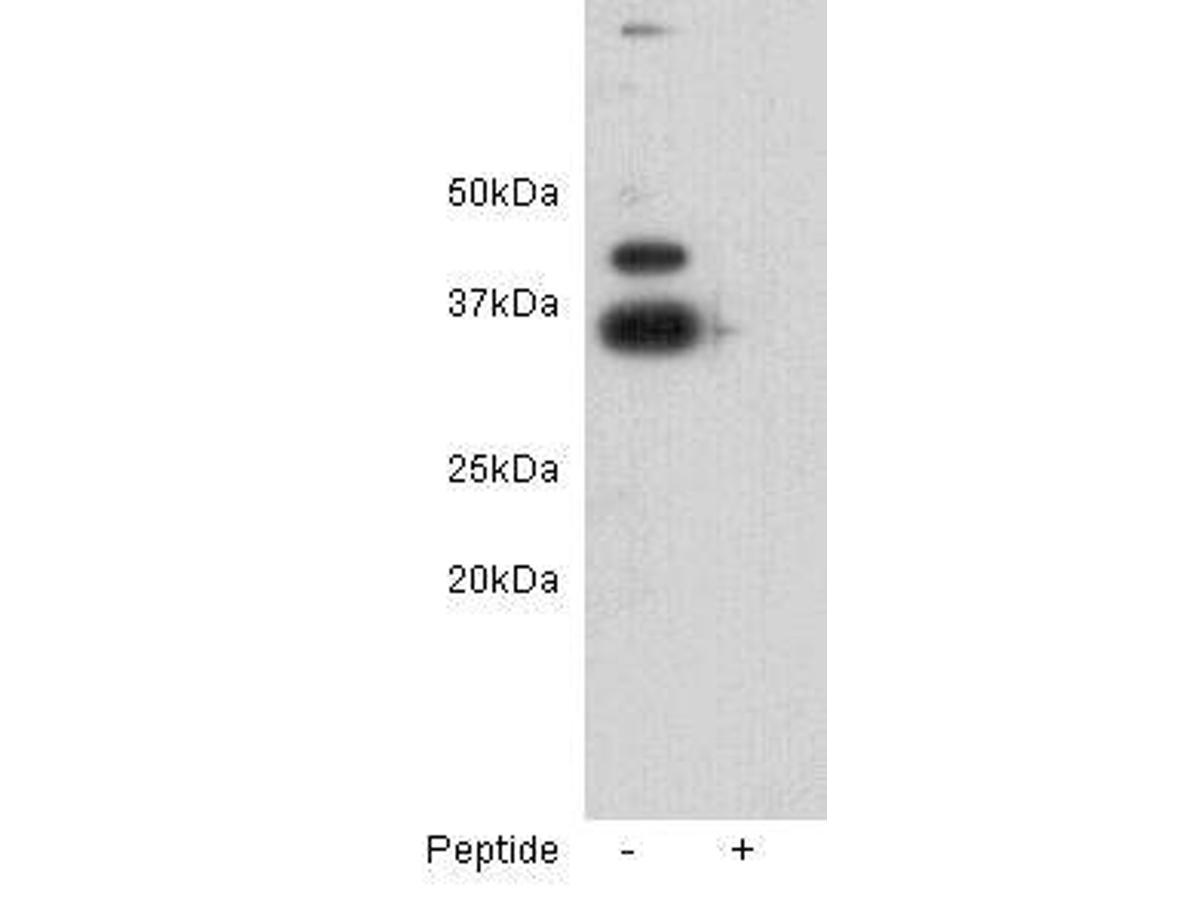 Western blot analysis on D3 using anti-ZFP-42 polyclonal antibody