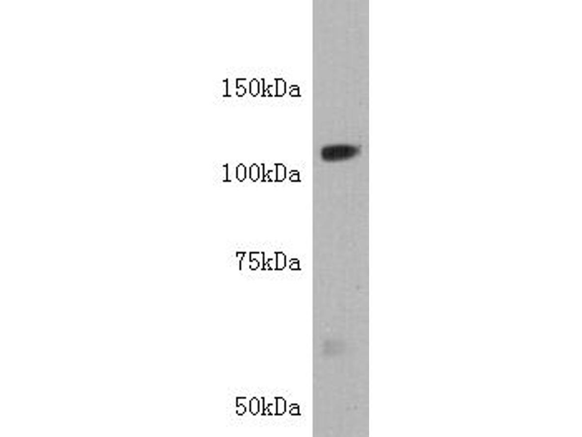 Western blot analysis of Tie-1 on K562 cell lysate using anti-Tie-1 antibody at 1/2,000 dilution.