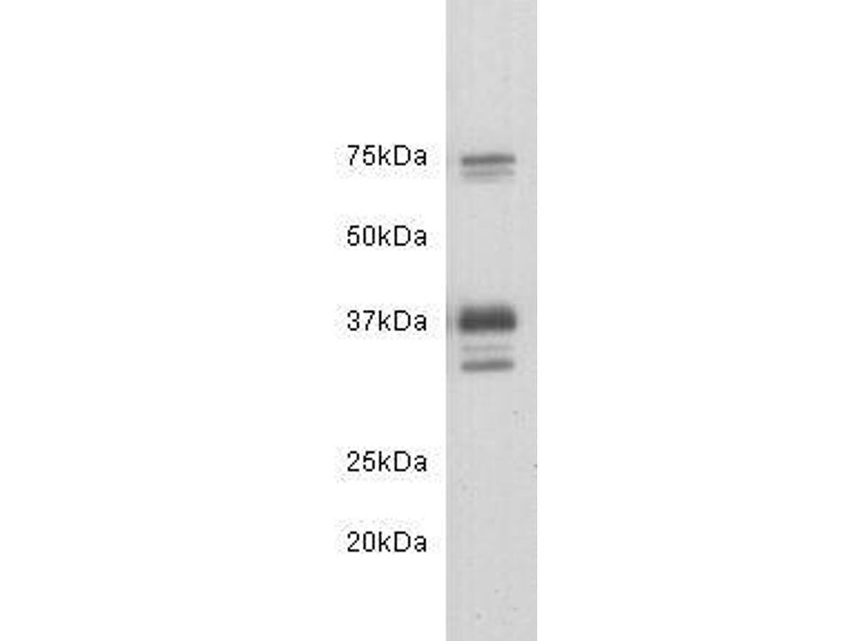 Western blot analysis of CD24 on mouse brain tissue lysates. Proteins were transferred to a PVDF membrane and blocked with 5% BSA in PBS for 1 hour at room temperature. The primary antibody (0804-3, 1/500) was used in 5% BSA at room temperature for 2 hours. Goat Anti-Rabbit IgG - HRP Secondary Antibody (HA1001) at 1:200,000 dilution was used for 1 hour at room temperature.