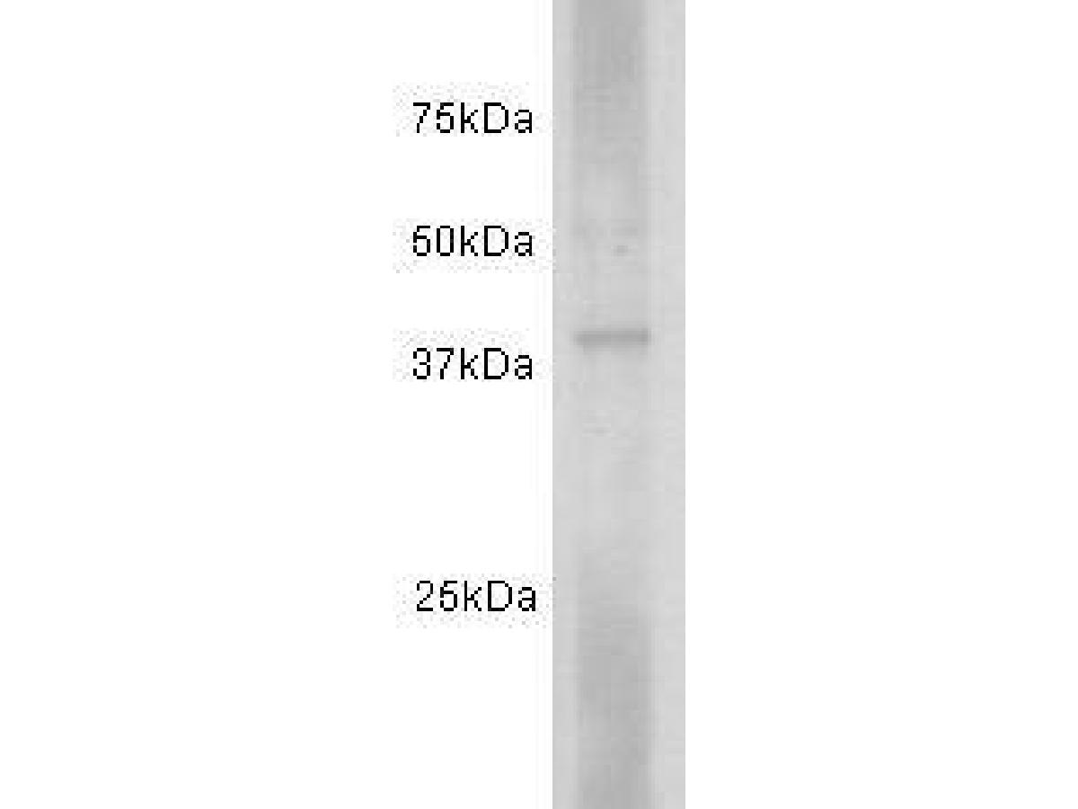 Western blot analysis on human spleen using anti-CD24 polyclonal antibody