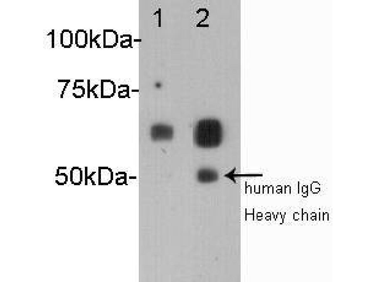 Western blot analysis on human heart 1 and human serum 2 using anti-albumin polyclonal antibody.