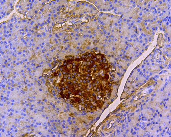 Immunohistochemical analysis of paraffin-embedded mouse pancreas tissue using anti-Insulin B Chain antibody. The section was pre-treated using heat mediated antigen retrieval with Tris-EDTA buffer (pH 8.0-8.4) for 20 minutes.The tissues were blocked in 5% BSA for 30 minutes at room temperature, washed with ddH2O and PBS, and then probed with the primary antibody (0807-11, 1/200) for 30 minutes at room temperature. The detection was performed using an HRP conjugated compact polymer system. DAB was used as the chromogen. Tissues were counterstained with hematoxylin and mounted with DPX.