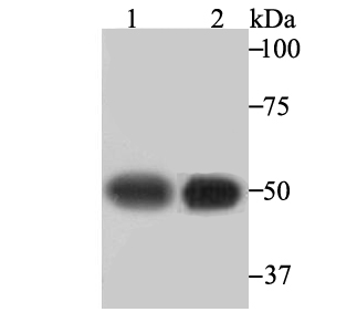 Western blot analysis of beta III Tubulin on PC-12 (1) and Hela (2) cell lysate using anti-beta III Tubulin antibody at 1/2,000 dilution.