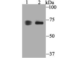 Western blot analysis of COX1/Cyclooxygenase 1 on different lysates. Proteins were transferred to a PVDF membrane and blocked with 5% BSA in PBS for 1 hour at room temperature. The primary antibody was used at a 1:500 dilution in 5% BSA at room temperature for 2 hours. Goat Anti-Rabbit IgG - HRP Secondary Antibody (HA1001) at 1:5,000 dilution was used for 1 hour at room temperature.<br /> Positive control:<br /> Lane 1: 293T cell lysate, untreated<br /> Lane 2: NIH/3T3 cell lysate, untreated
