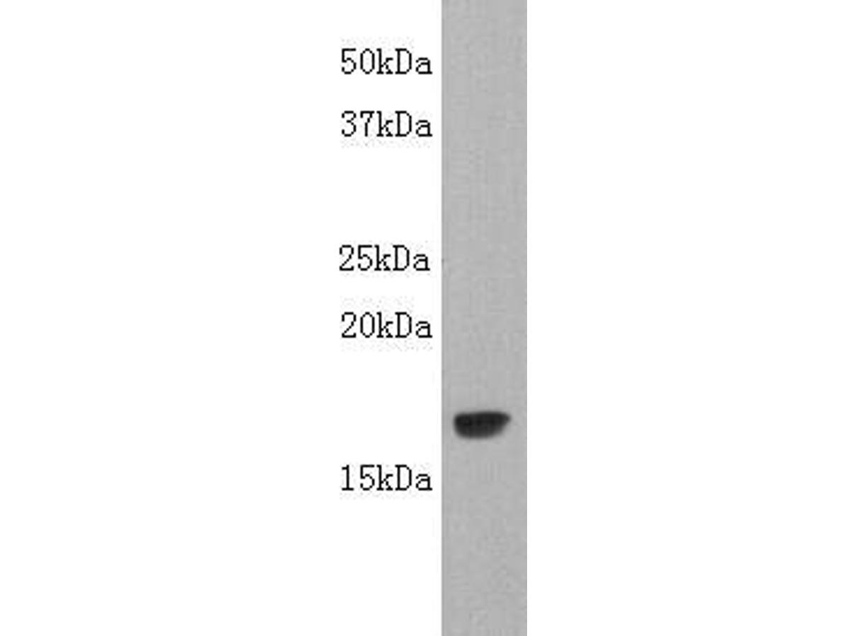 Western blot analysis on LT-alpha (TNF-β) using anti- LT-alpha polyclonal antibody