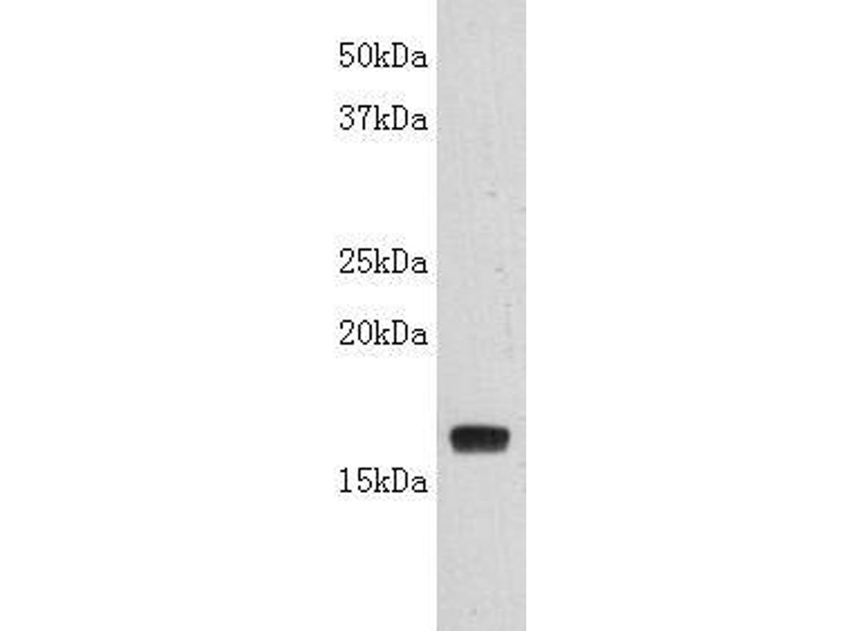 Western blot analysis on LT-alpha(TNF-β) using anti- LT-alpha polyclonal antibody