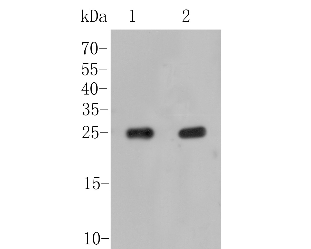 Western blot analysis of ARF1 on different lysates. Proteins were transferred to a PVDF membrane and blocked with 5% BSA in PBS for 1 hour at room temperature. The primary antibody (0807-7, 1/500) was used in 5% BSA at room temperature for 2 hours. Goat Anti-Rabbit IgG - HRP Secondary Antibody (HA1001) at 1:5,000 dilution was used for 1 hour at room temperature.<br /> Positive control: <br /> Lane 1: HepG2 cell lysate<br /> Lane 2: 293 cell lysate