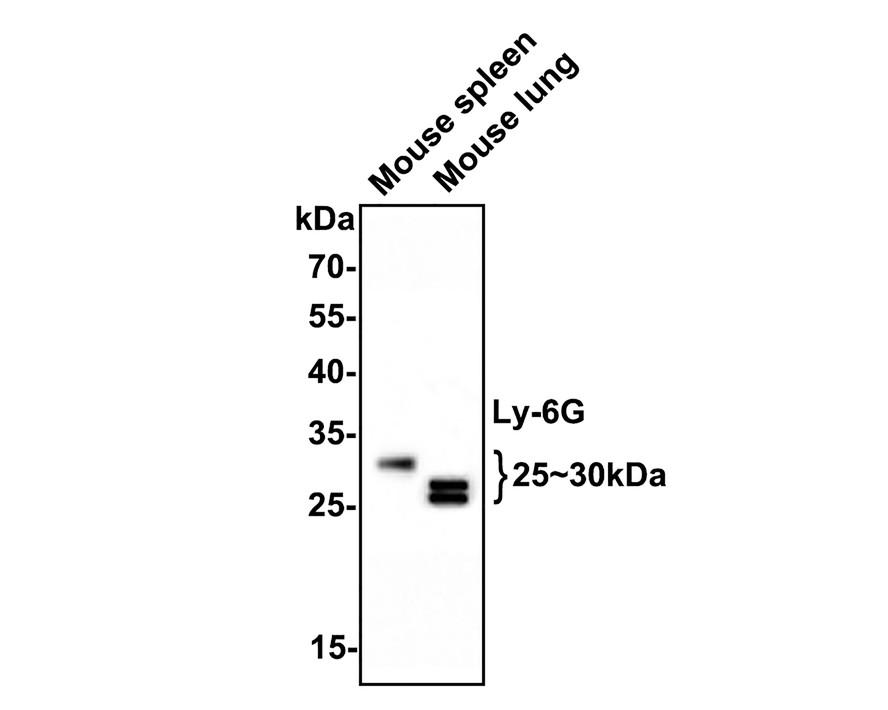Western blot analysis on mouse liver using anti-Ly-6G polyclonal antibody.