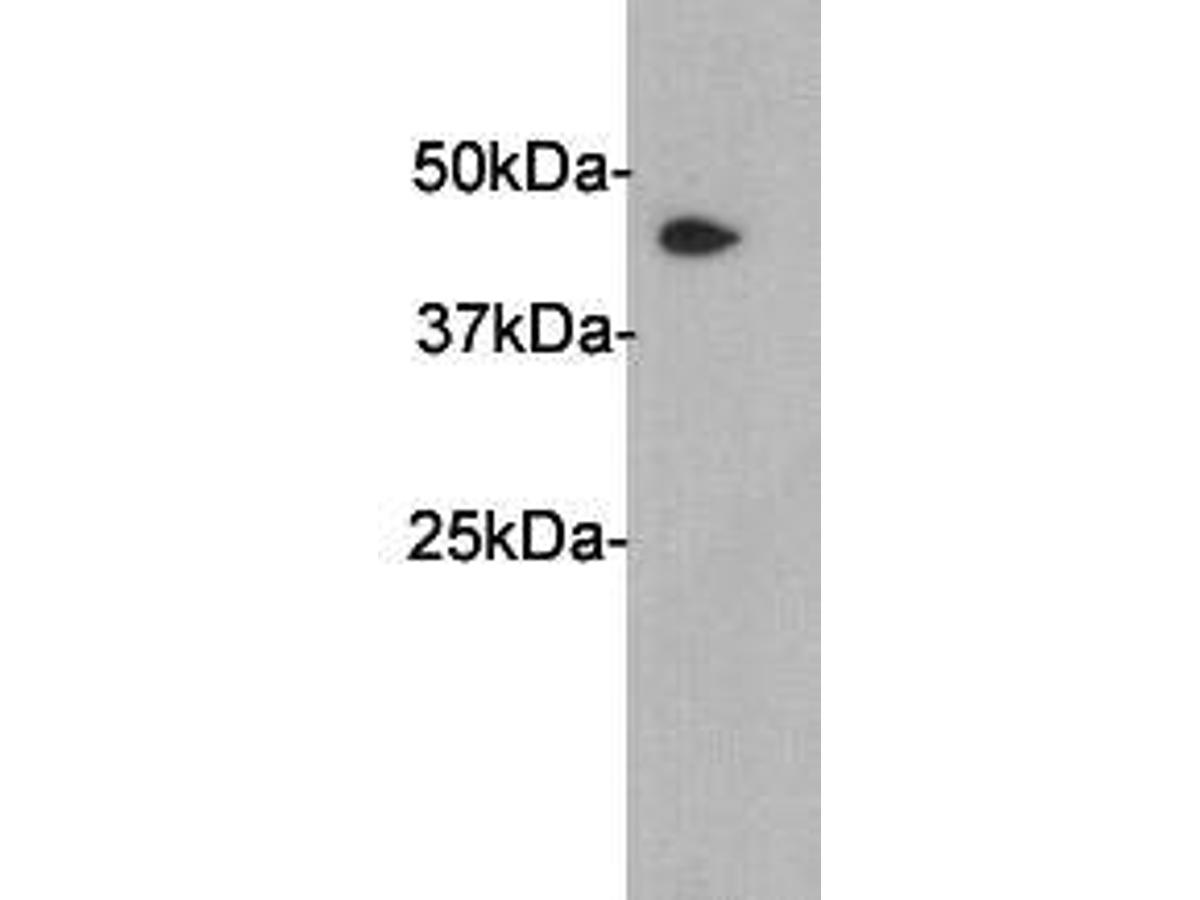 Western blot analysis on human liver using anti-PAI3 polyclonal antibody.