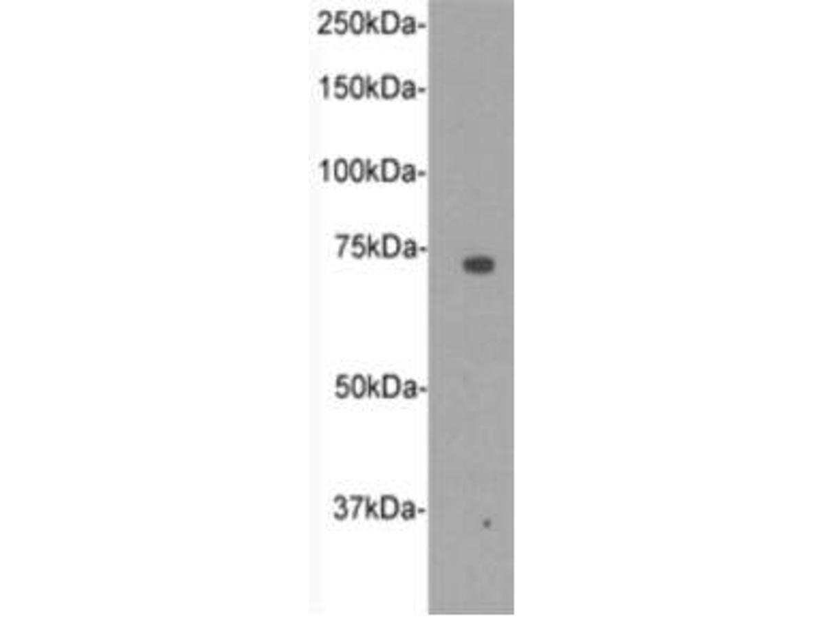 Western blot analysis on D3 using anti CD105 polyclonal antibody.
