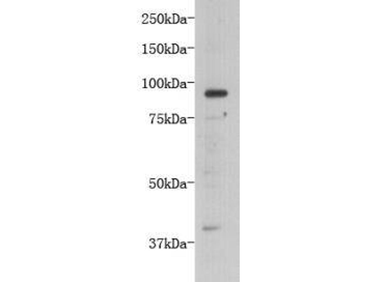 Western blot analysis on D3 using anti- TMEM132B polyclonal antibody.
