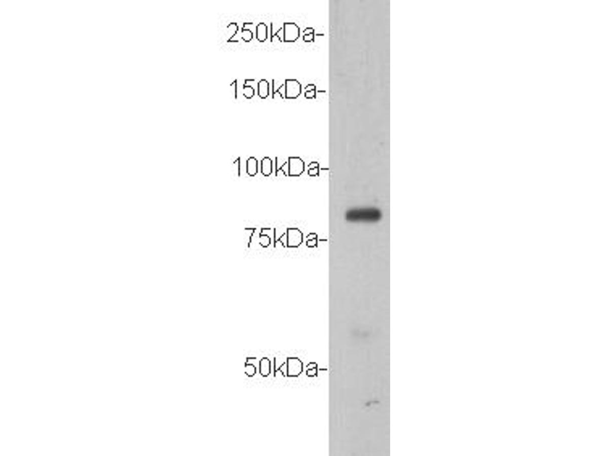 Western blot analysis of VANGL1 on MCF-7 cell lysate using anti-VANGL1 antibody at 1/500 dilution.