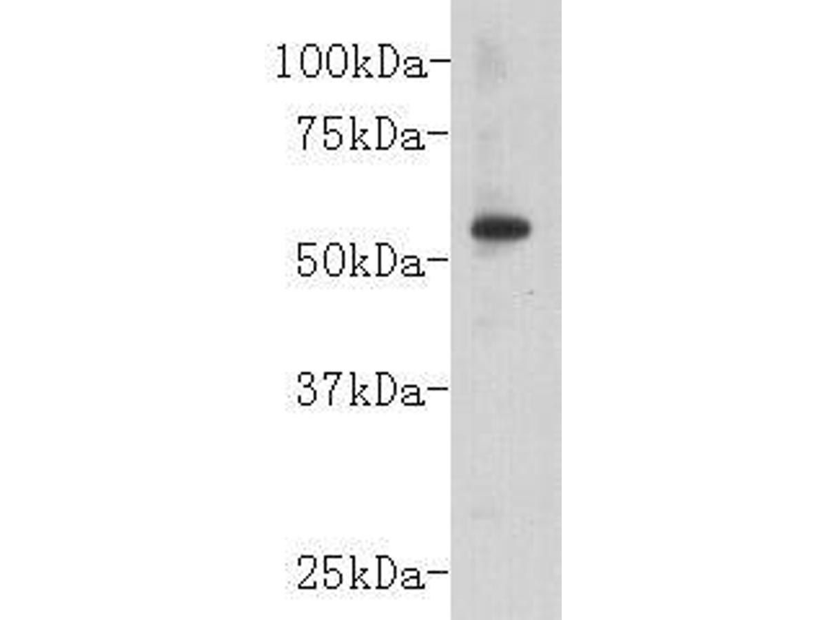 Western blot analysis on mouse embryo using anti-CD147 polyclonal antibody.