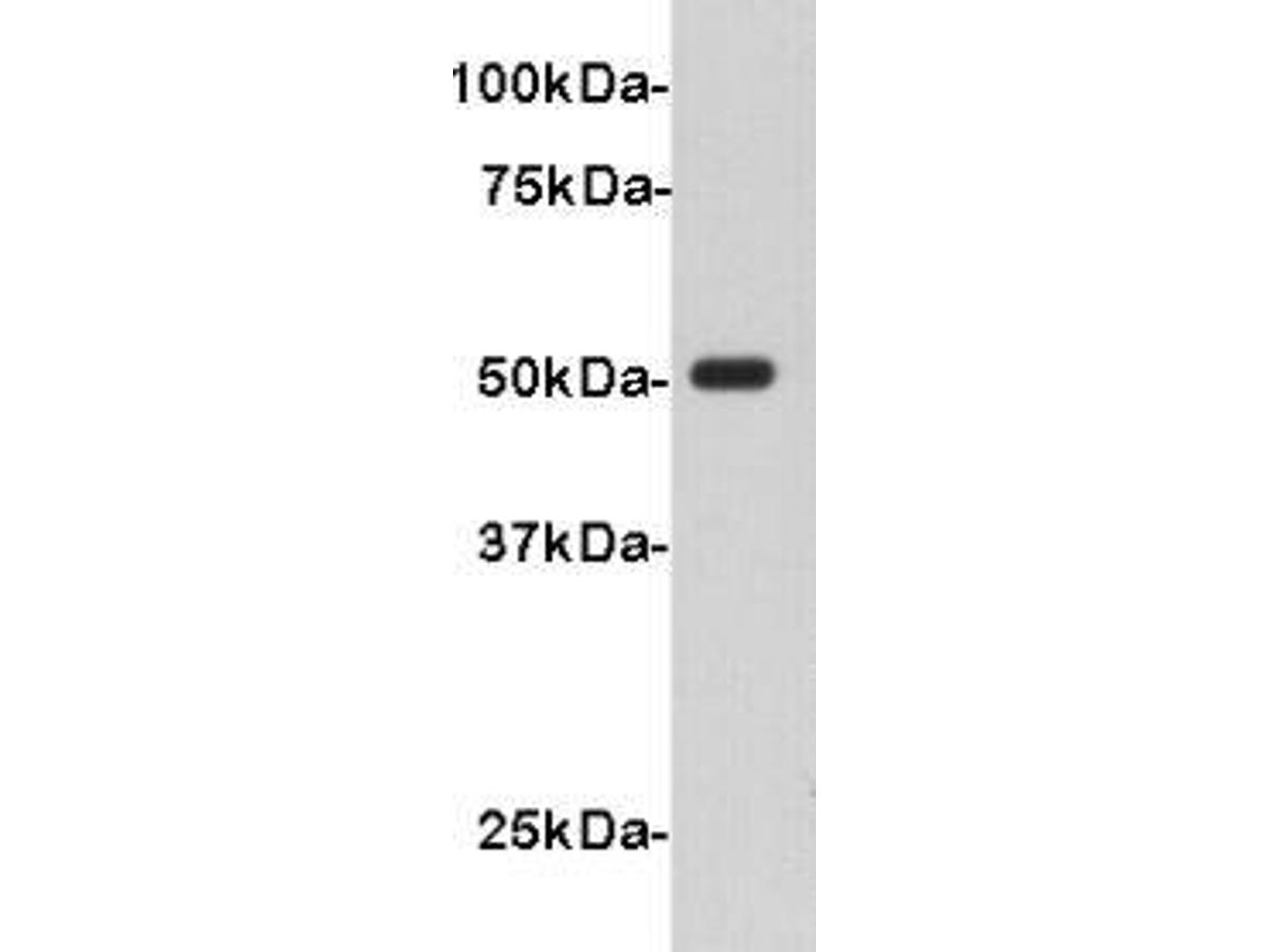 Western blot analysis on V5-tagged recombinant protein (50kDa) using anti-V5 polyclonal antibody.