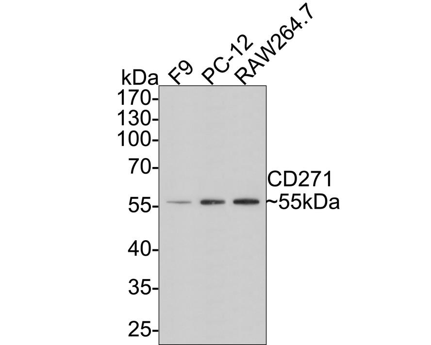 Western blot analysis on D3 (A) and PC12 (B) using anti-CD271 polyclonal antibody.