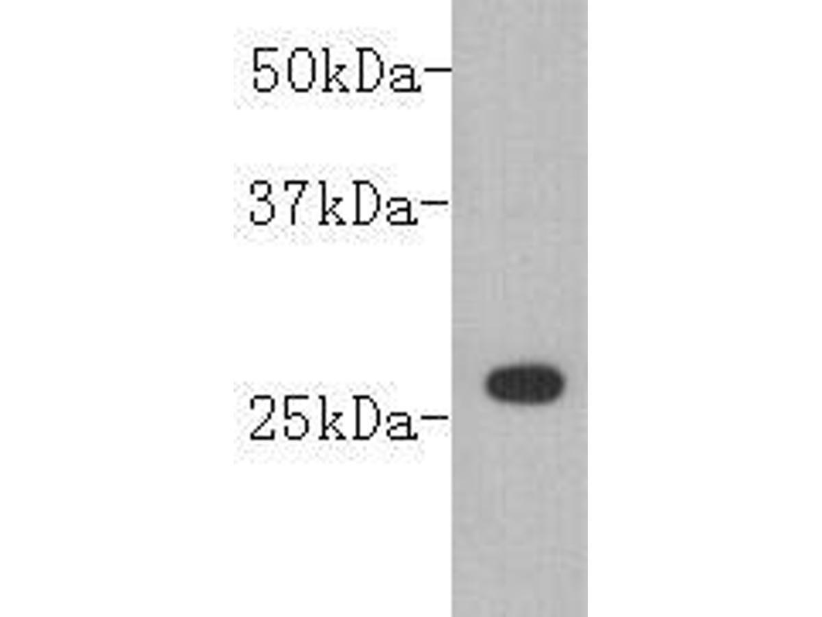 Western blot analysis on GST fusion protein (26kDa) using anti-GST polyclonal antibody.