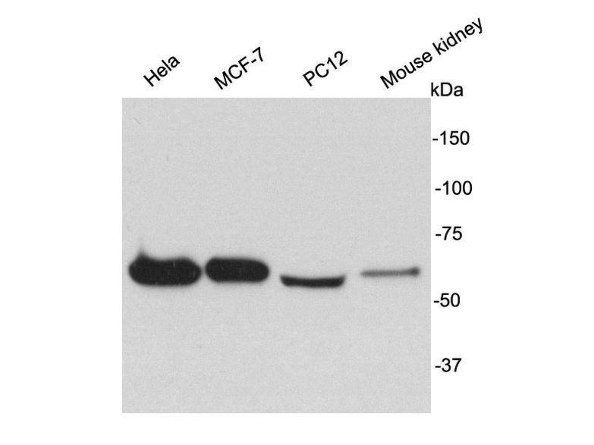 Western blot analysis on different cell lysates using anti-HSP60 rabbit polyclonal antibody