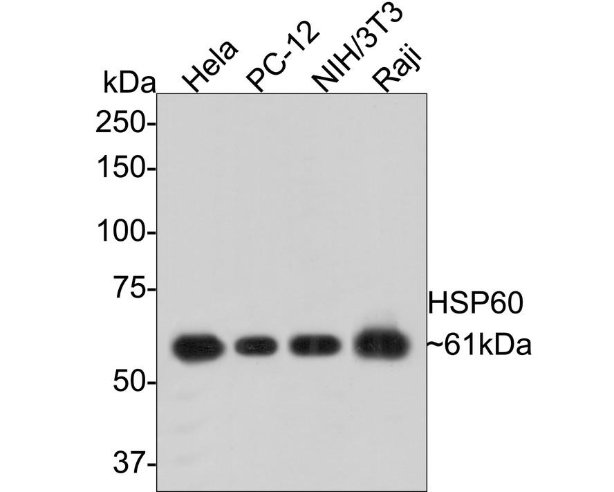 Western blot analysis on Hela using anti-HSP60 polyclonal antibody
