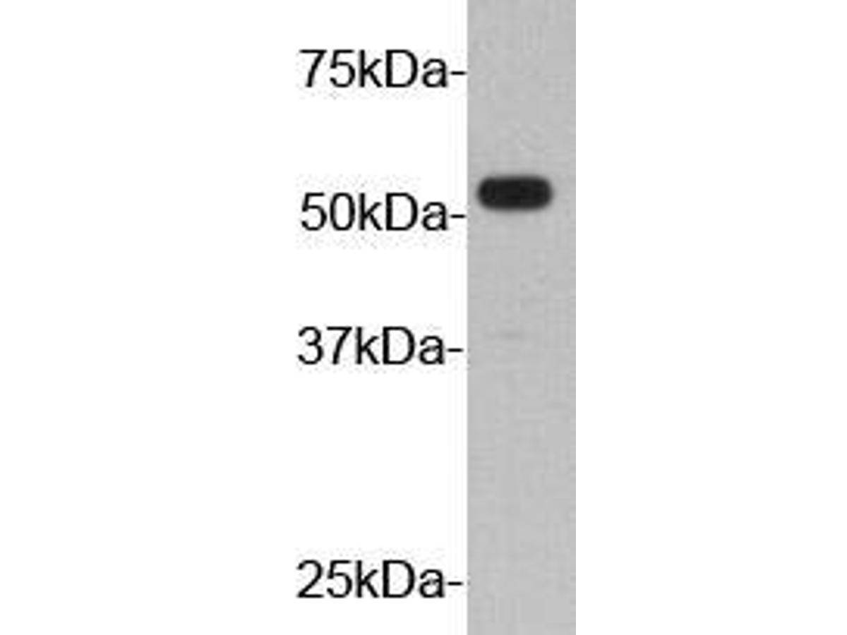 Western blot analysis on YPYDVPDYA Tag recombinant protein (55kDa).