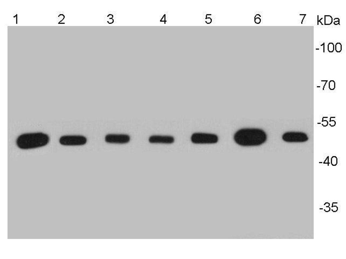 Western blot analysis of β-tubulin on different cell lysates using anti-β-tubulin antibody at 1/5000 dilution.<br />  Positive control: <br />   Lane 1: NCCIT <br />   Lane 2: NIH/3T3 <br />   Lane 3: PC12 <br />   Lane 4: Mouse heart <br />   Lane 5: F9 <br />   Lane 6: zebrafish brain <br />   Lane 7: Hela