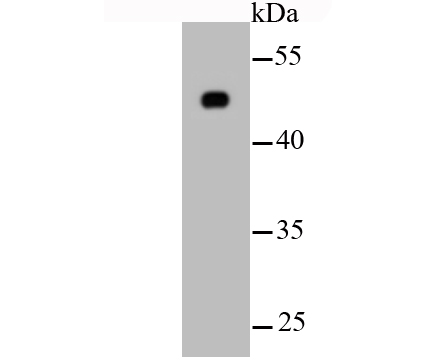 Western blot analysis of β-tubulin on hybrid fish (crucian-carp) brain tissue lysate using anti-β-tubulin antibody at 1/500 dilution.