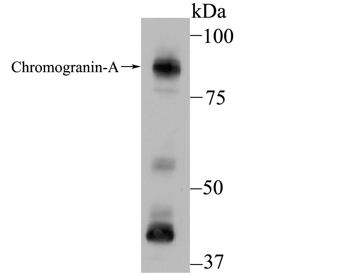 Western blot analysis of Chromogranin A on PC-12 using anti-Chromogranin A antibody at 1/500 dilution.