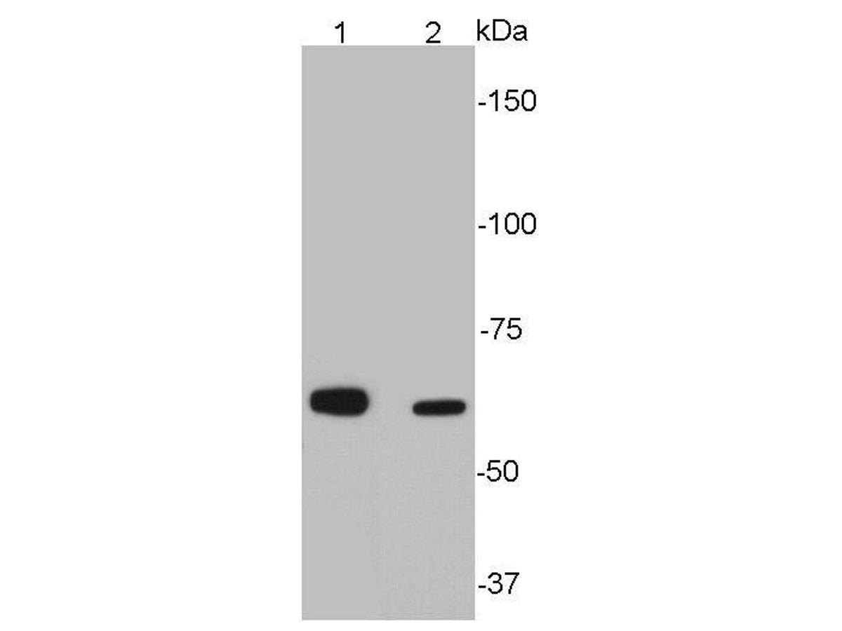 Western blot analysis of SQSTM1 on different cell lysates using anti-SQSTM1 antibody at 1/500 dilution.<br /> Positive control: <br /> Lane 1: Hela<br /> Lane 2: HepG2