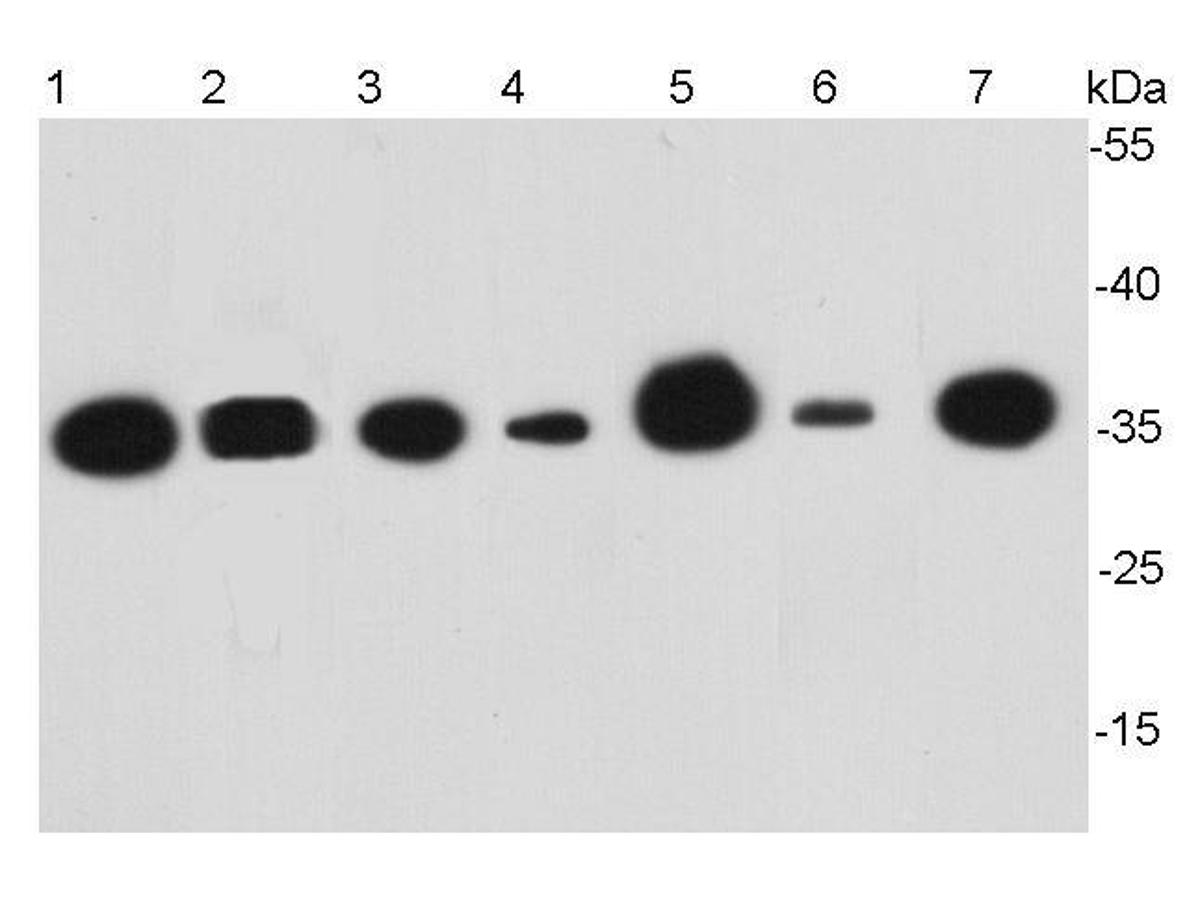 Western blot analysis of GAPDH on different cell lysates using anti-GAPDH antibody at 1/5000 dilution.<br />  Positive control:<br />  Lane 1: HepG2<br />  Lane 2: Hela<br />  Lane 3: PC12<br />  Lane 4: NIH/3T3<br />  Lane 5: MCF-7<br />  Lane 6: Rabbit liver<br />  Lane 7:Zebrafish