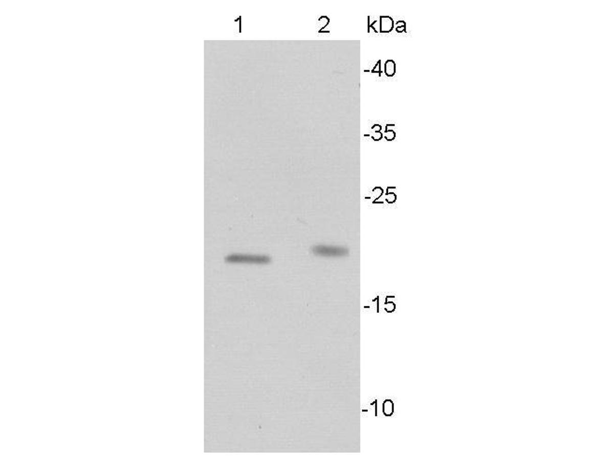Western blot analysis of Bax on different lysates using anti-BAX antibody at 1/500 dilution.<br /> Positive control:<br /> Lane 1: Raji<br /> Lane 2: Mouse lymphoid tissue