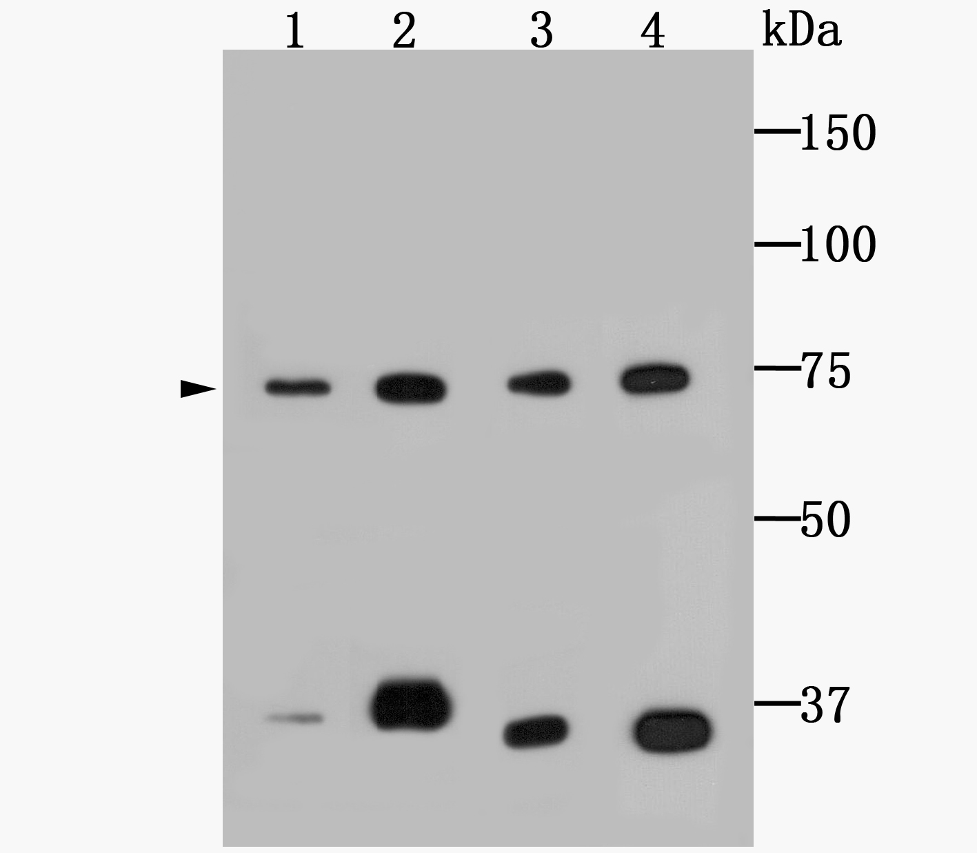 Western blot analysis of Grp75 on different cell lysates using anti-Grp75 antibody at 1/1,000 dilution.<br />   Positive control:<br />   Lane 1: NIH-3T3<br />   Lane 2: HepG2<br />   Lane 3: K562 <br />   Lane 4: L929
