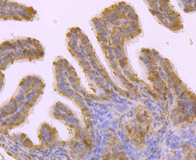 Immunohistochemical analysis of paraffin-embedded mouse oviduct tissue using anti-Grp75 antibody. Counter stained with hematoxylin.