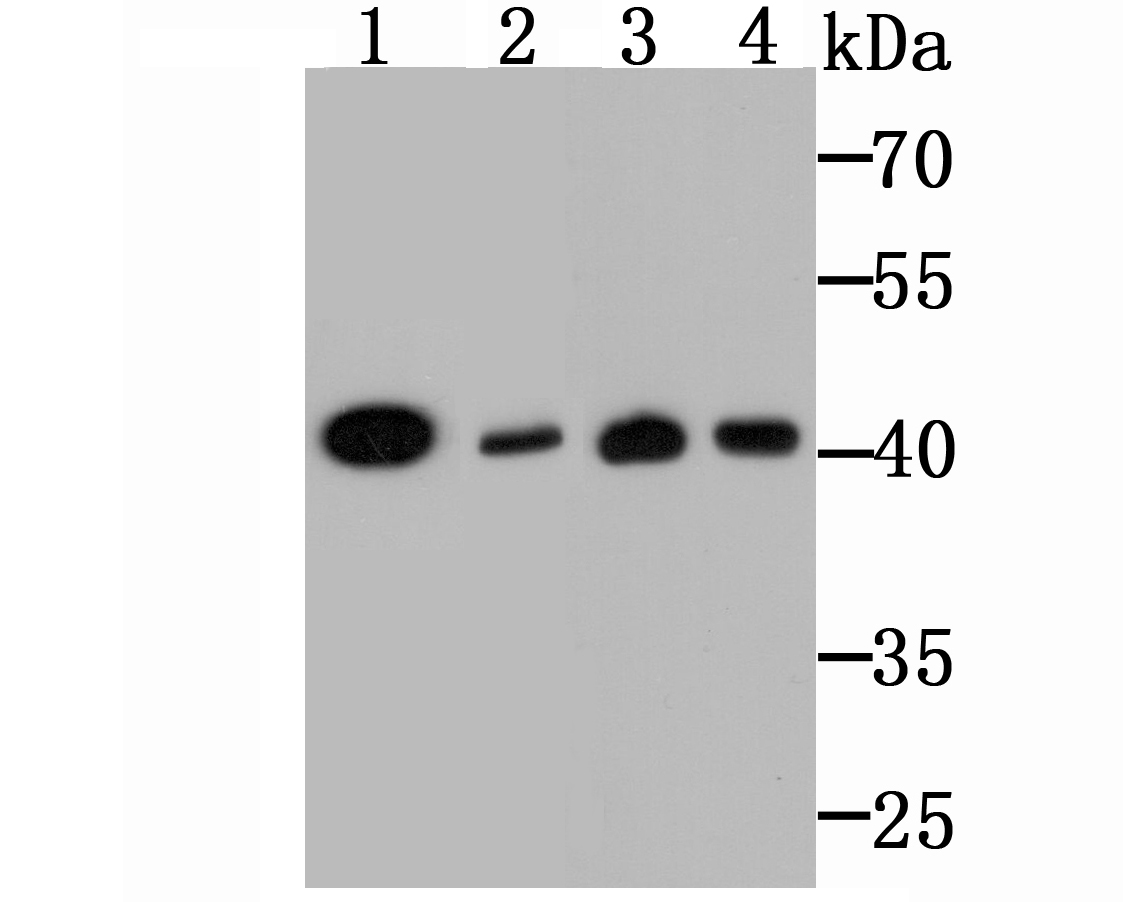 Western blot analysis of CD47 on NIH-3T3 cell (1), Mouse brain (2), Hela cell (3) and K562 cell (4) lysates using anti-CD47 antibody at 1/500 dilution.