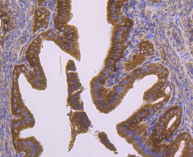 Immunohistochemical analysis of paraffin-embedded mouse fallopian tube tissue using anti-CD47 antibody. Counter stained with hematoxylin.