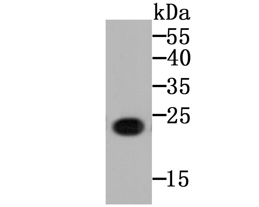 Western blot analysis of CD130 on CD130 recombinant protein using anti-CD130 antibody at 1/5,000 dilution.