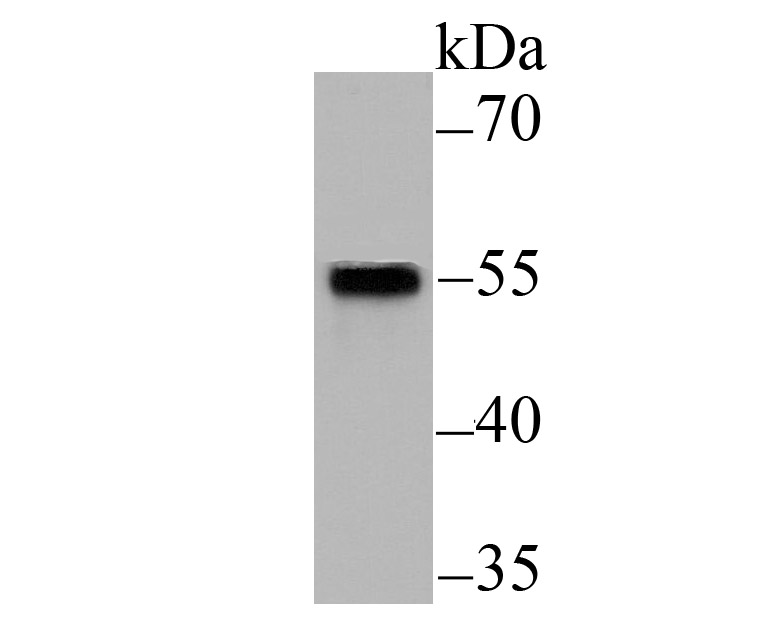 Western blot analysis of Smad2 on Hela cell lysate using anti-Smad2 antibody at 1/500 dilution.