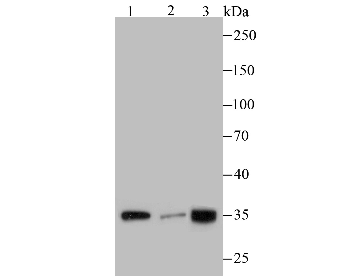 Western blot analysis of PLEKHH1 on different cell lysates using anti-PLEKHH1 antibody at 1/100 dilution.<br />  Positive control:<br />  Lane 1: MCF-7   <br />     Lane 2: A431<br />  Lane 3: SH-SY5Y