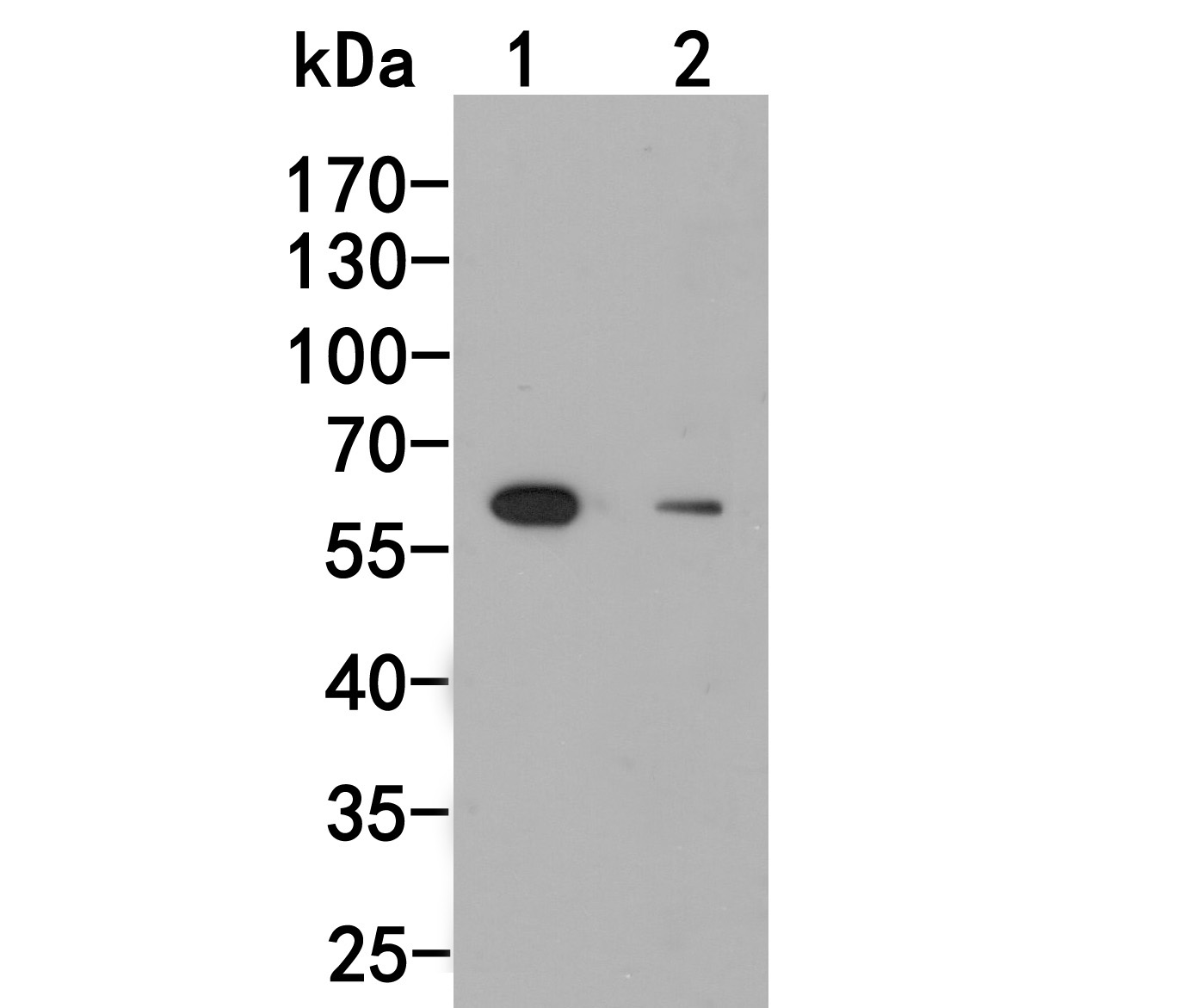 Western blot analysis of UAP1 on Jurkat cell lysate using anti-UAP1 antibody at 1/500 dilution.<br />