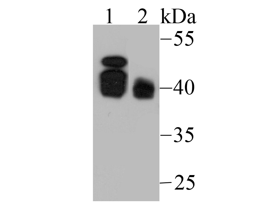 Western blot analysis of Bmi1 on Hela (1) and NIH-3T3 (2) using anti-Bmi1 antibody at 1/500 dilution.
