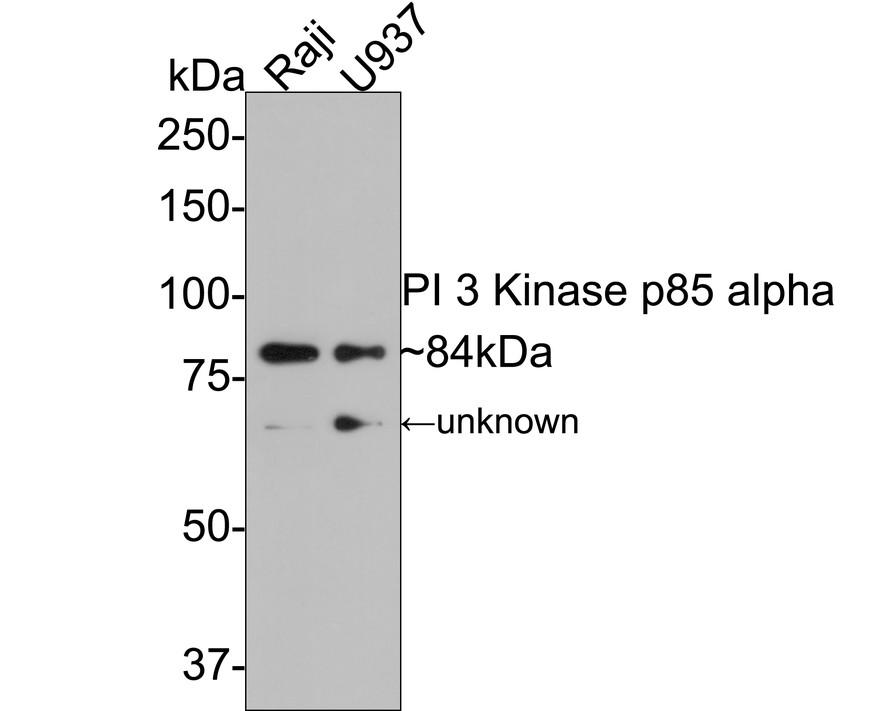 Western blot analysis of PI3-kinase p85 subunit alpha on Raji (1) and U937 (2) using anti-PI3-kinase p85 subunit alpha antibody at 1/1,000 dilution.