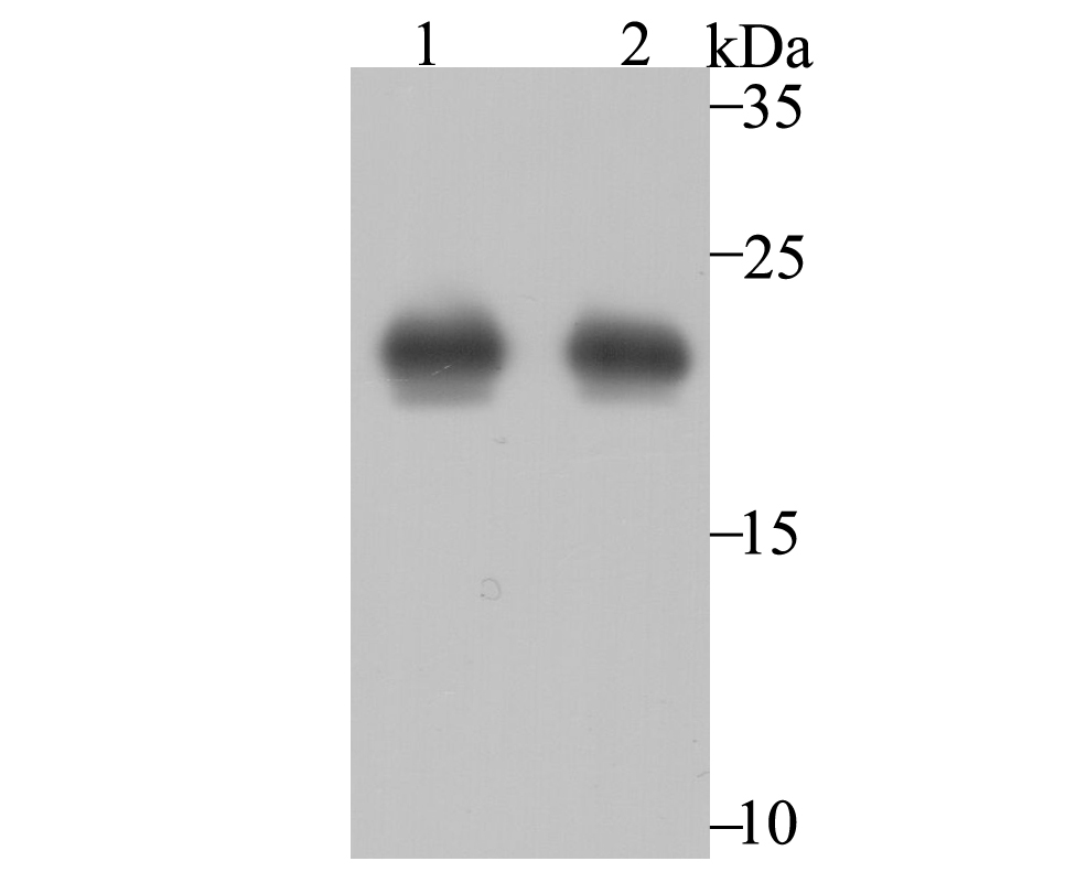 Western blot analysis of Peroxiredoxin 2 on PC-3M (1) and MCF-7 (2) using anti-Peroxiredoxin 2 antibody at 1/2,000 dilution.