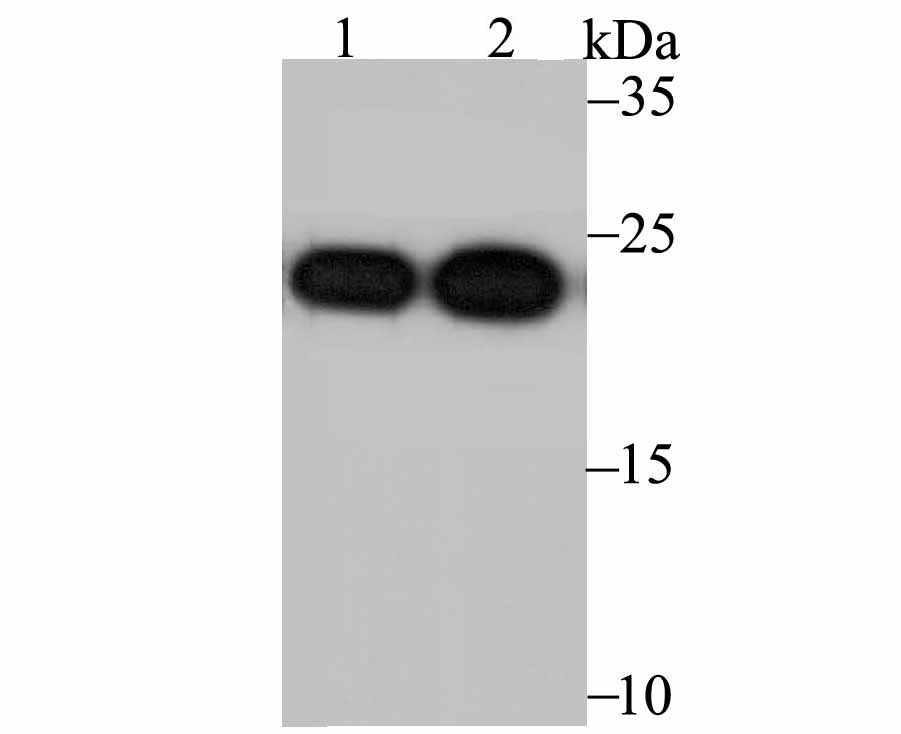 Western blot analysis of Peroxiredoxin 2 on PC-3M (1) and MCF-7 (2) using anti- Peroxiredoxin 2 antibody at 1/5,000 dilution.
