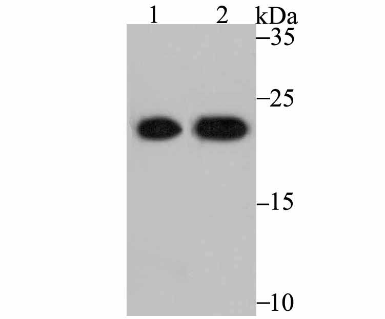 Western blot analysis of Peroxiredoxin 2 on PC-3M (1) and MCF-7 (2) using anti-Peroxiredoxin 2 antibody at 1/5,000 dilution.
