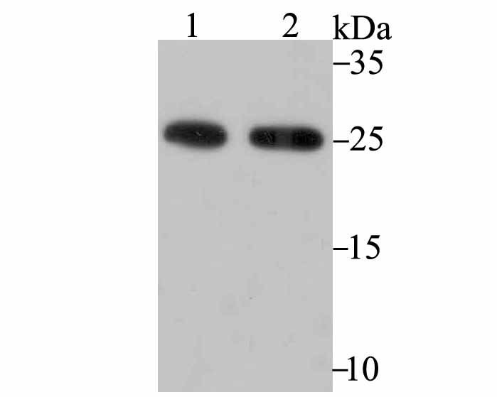 Western blot analysis of PRDX6 on PC-3M (1) and K562 (2) using anti-PRDX6 antibody at 1/500 dilution.