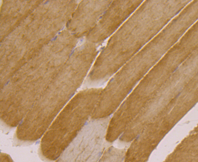 Immunohistochemical analysis of paraffin-embedded rat skeletal muscle tissue using anti-UGP2 antibody. Counter stained with hematoxylin.