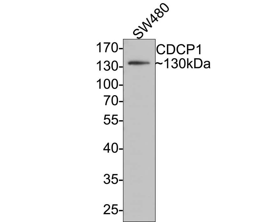 Western blot analysis of CDCP1 on K562 cell lysates using anti-CDCP1 antibody at 1/200 dilution.