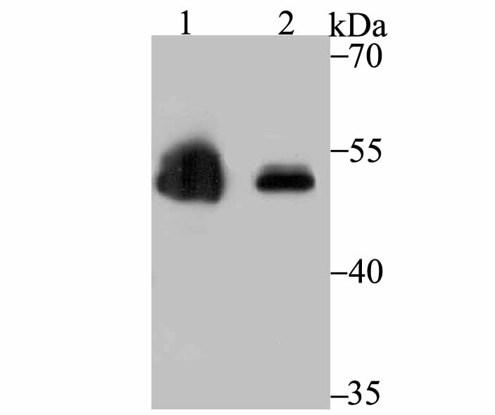 Western blot analysis of Zscan4 on 293 transfected Zscan4 (1) and 293T (2) cell lysates using anti-Zscan4 antibody at 1/500 dilution.